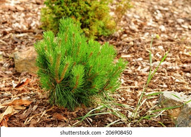 Small pine tree in the garden with bark mulch