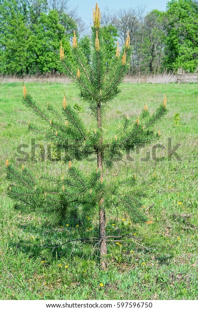 small-pine-tree-growing-grassy-600w-5975
