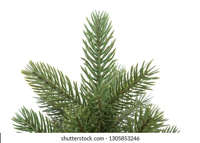 Small pine tree isolated on white background