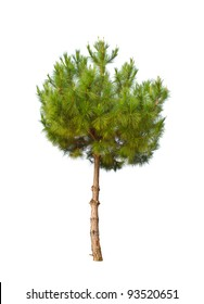small pine tree on white background
