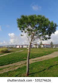 Small pine tree, planted on green lawn