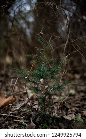 A small pine tree with red berries found in the woods decorated for Christmas.