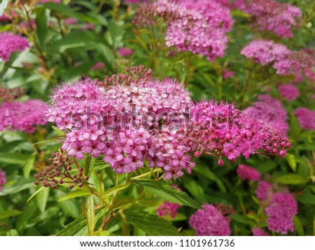 Small Pink Flowers Blossom Bushes Green Stock Photo Edit Now