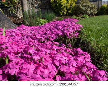 Small pink flowers, moss phlox, in the garden.