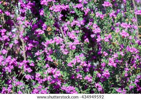 Small pink flowers on bush summer stock photo edit now 434949592 small pink flowers on bush in a summer garden mightylinksfo