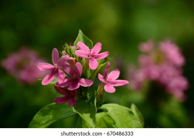 Small pink flowers sweet name american beauty images stock photos small pink flowers sweet name american beauty american beauty behind the iron fence can not block mightylinksfo