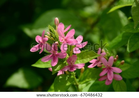 Small pink flowers sweet name american stock photo edit now small pink flowers sweet name american beauty american beauty behind the iron fence can not block mightylinksfo