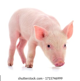Small pink pig who is isolated on white background.