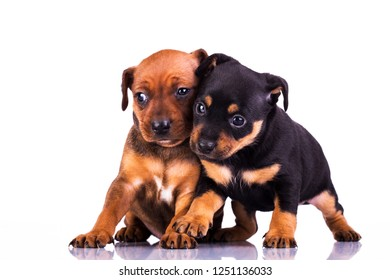 small  pinscher  dogs isolated on a white background