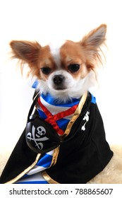 small pirate chihuahua isolated on the white background