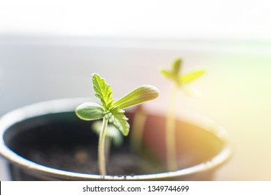 A small plant of cannabis seedlings. cultivation in an indoor marijuana. Seedling in the ground in the sun, Macro. The stage of vegetation hemp.