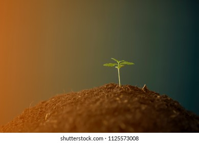 A small plant of cannabis seedlings at the stage of vegetation planted in the ground  a beautiful background of the sun