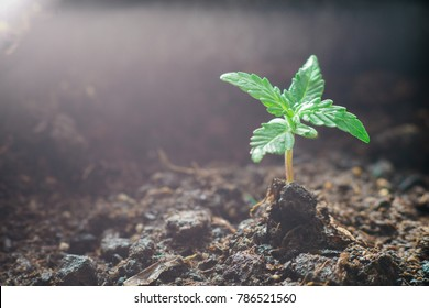 A small plant of cannabis seedlings at the stage of vegetation planted in the ground in the sun, a beautiful background, eceptions of cultivation in an indoor marijuana for medical purposes close up