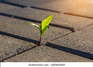 A small plant with green leaves grows on the sidewalk. Germinating plant in paving slabs in the morning sunlight. business startup concept