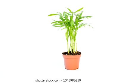 Small plant palm tree Howea Kentia growing in brown pot with green leave isolated on white background, indoor palm for decorative in house.