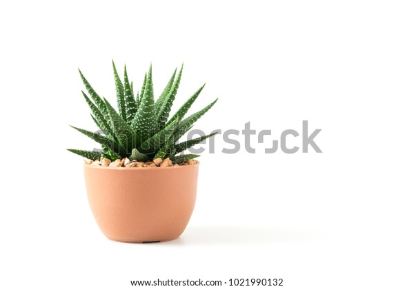 Small plant in pot succulents or cactus isolated on white background by front view