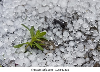 a small plant surrounded by hail after a hailstorm