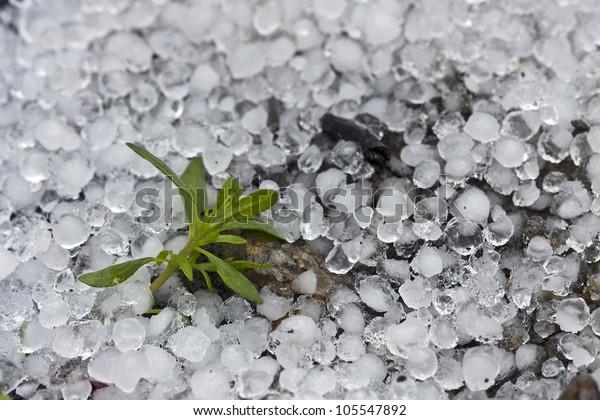 een kleine plant omringd door hagel na een hagelstorm
