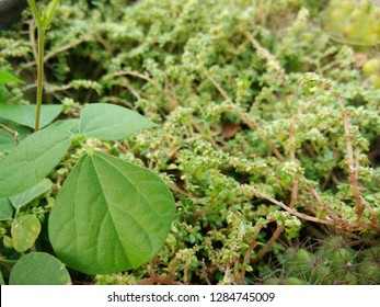 Small plant (tiny leaves) Pilea microphylla, rockweed, artillery plant, gunpowder plant, brilhantina, artillery fern growing as ground cover with cactus and other plant