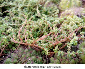 Small plant, tiny leaves, succulent stem of Pilea microphylla, Rockweed, Artillery, Gunpowder plant, Brilhantina, Artillery fern growing as ground cover with cactus