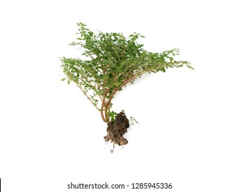 Small plant, tiny leaves, succulent stem of Pilea microphylla, Rockweed, Artillery, Gunpowder plant, Brilhantina, Artillery fern isolated on white background