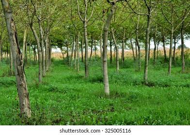 small plantation of young walnut trees
