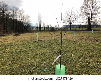 Small planted tree with grow support