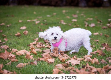 Small and playful bichon playing in the park.