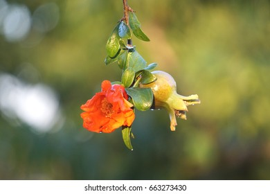 Small pomegranate with orange flower. Spring 2017. Italy.