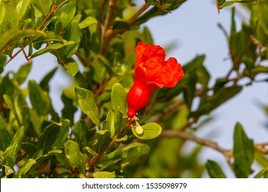 Small pomegranate ovary with red flower on tree at sky background