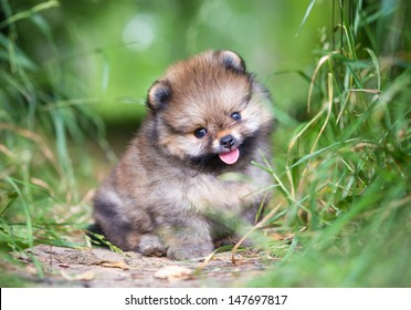 Small Pomeranian puppy sitting in the green grass