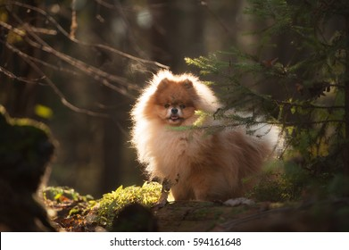 Small Pomeranian Spitz stands in the forest. Dog outdoor. Beautiful dog