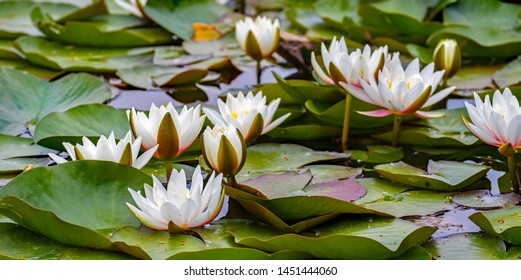 small pond with water lilies