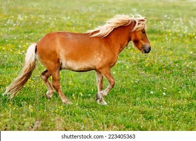 Small pony horse walking on the field (Equus ferus caballus)