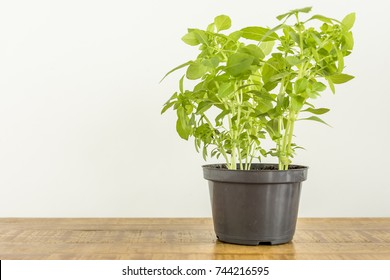 A small pot with planted basil and a white wall on wooden table