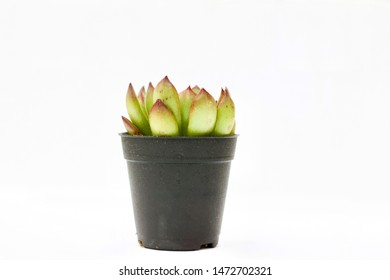 Small potted cactus succulent plants,  types of Echeveria succulents on white background.