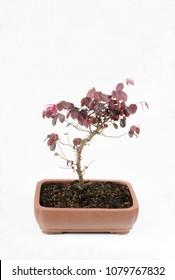 small pre bonsai, loropetalum chinense