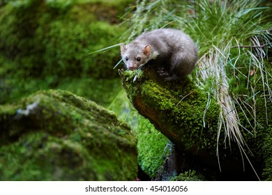 Small predator, Stone marten, Martes foina, in typical european forest environment. Beech marten, sitting on green mossy root over small forest stream.