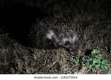 Small prickly hedgehog with curious snout peeking out from under the green foliage.