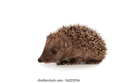 The small prickly hedgehog looks at me
