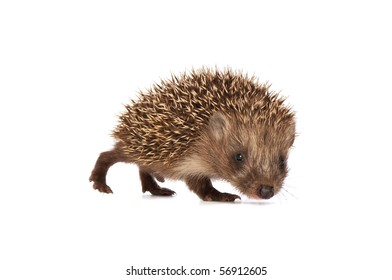 The small prickly hedgehog in motion looks at me