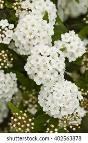 Small, pristine white flowers in full Spring bloom