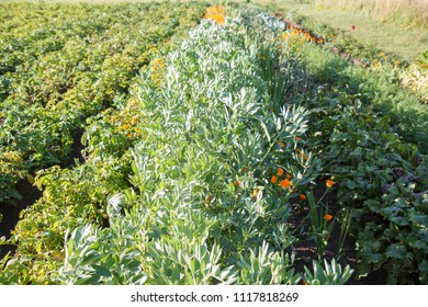small private vegetable garden with beans and potatoes