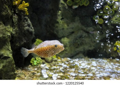 Small puffer fish under the sea, black spotted puffer fish are dangerous aquatic animals