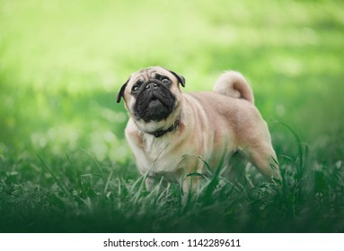 small pug dog standing in green grass and looking up with funny face