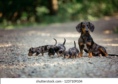 Small puppies breed Marble Dachshund on the nature. Dachshund puppies and their dad.