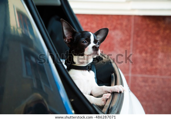 Small puppy chihuahua sitting at the trunk car