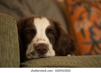 Small Puppy Dog Relaxing on Sofa