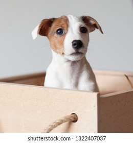 A small puppy Jack Russell Terrier with brown speck on muzzle sits in a wooden box