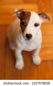 A small puppy Jack Russell Terrier with brown speck on muzzle